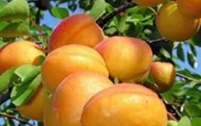 Fruit picking at De Krans