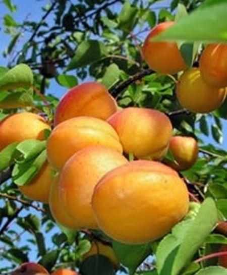 Fruit pickings at De Krans