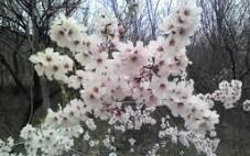 De Krans Blossom Festival