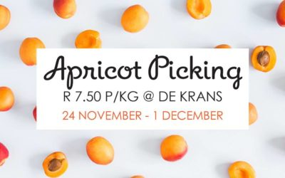 Apricot picking at De Krans